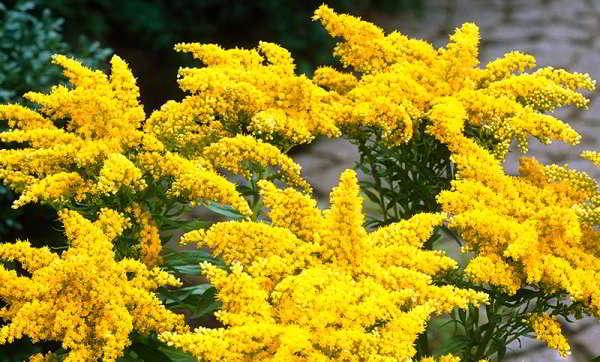 многолетний цветок долгоцвутущий