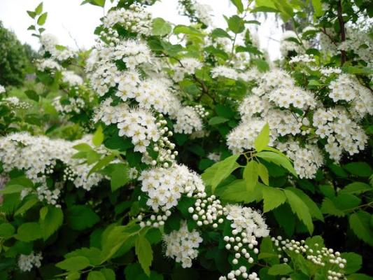 многолетние цветущие кустарники