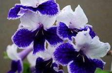 Стрептокарпусы: правильный уход и выращивание в домашних условиях
