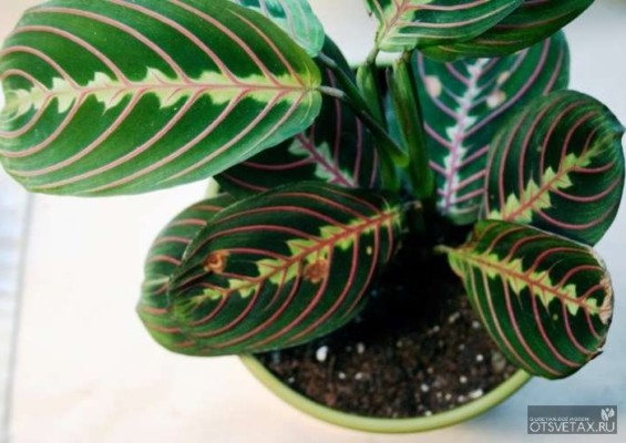 маранта уход в домашних условиях фото сохнут листья