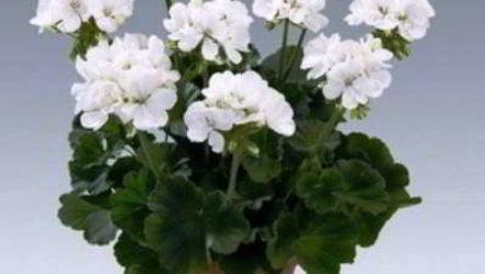 Светолюбивые растения комнатные фото