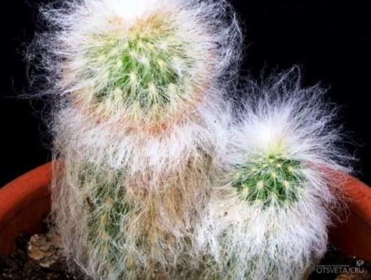 кактусы виды фото с названиями уход