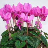 цветы комнатные цветущие фото и названия энциклопедия