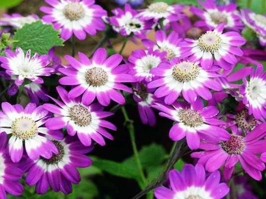 цветок цинерария