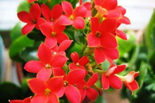 цветущие ампельные комнатные растения фото и названия