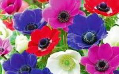 Цветы анемоны фото