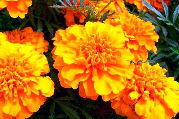 какие цветы посадить в марте на рассаду