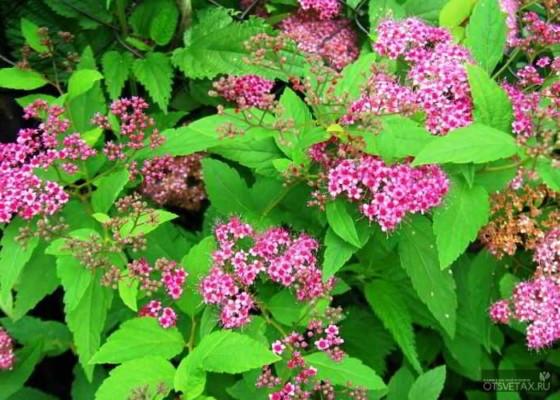 живая изгородь быстрорастущая многолетняя вечнозеленая цена