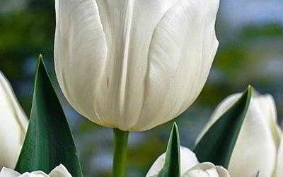Тюльпаны: когда нужно выкапывать луковицы, как их хранить и высаживать