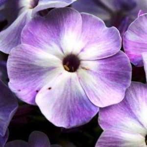 Как ухаживать за флоксами после цветения осенью