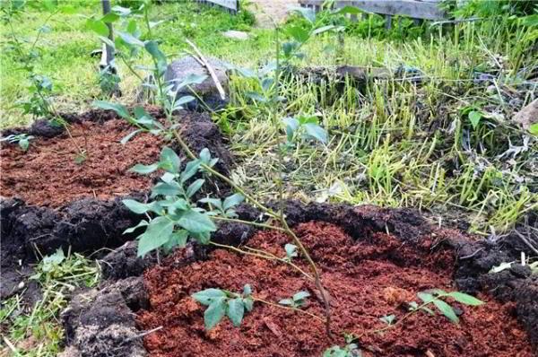 голубика садовая посадка и уход