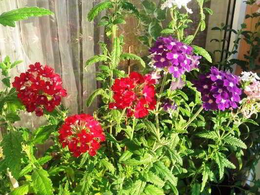 цветы вербена выращивание из семян