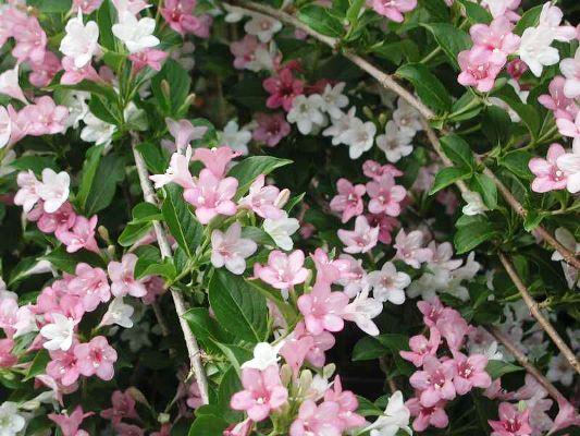цветущие кустарники многолетники зимостойкие фото с названиями