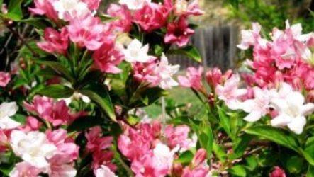 Вейгела: посадка и уход в открытом грунте