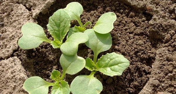 выращивание и уход за капустой брокколи в открытом грунте