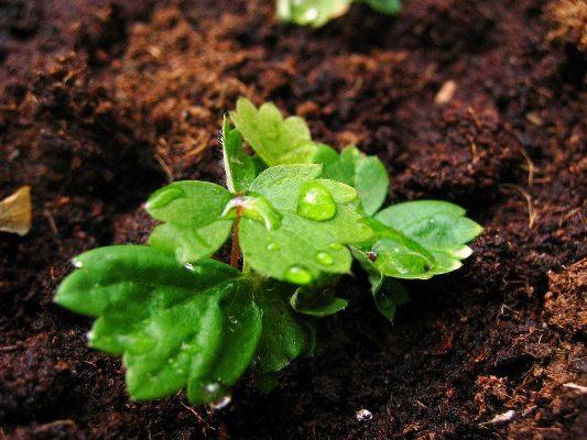рассада земляники из семян в домашних условиях