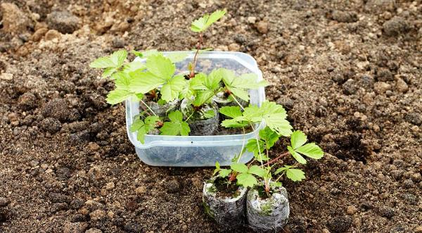земляника из семян в домашних условиях