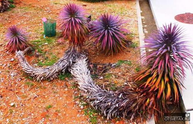 юкка садовая посадка и уход фото размножение