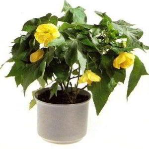 Комнатные цветы абутилон болезни