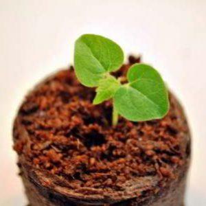 Как вырастить абутилон из семян в домашних условиях