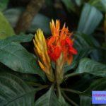 афеландра цветок фото