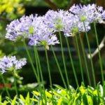цветок агапантус фото
