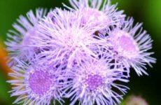 Агератум: выращивание из семян когда сажать на рассаду