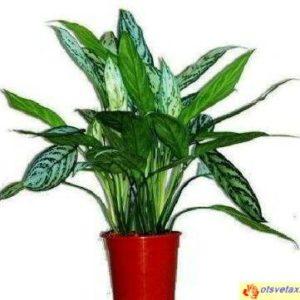 Цветок аглаонема в домашних условиях, как правильно за ним ухаживать