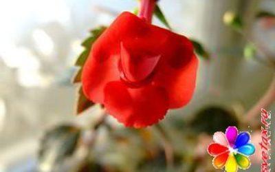 Цветы ахименесы фото сорта