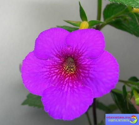 ахименесы выращивание и уход фото
