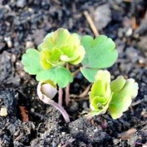 Аквилегия (водосбор) выращивание из семян когда сажать на рассаду