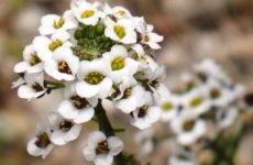 Алиссум: выращивание из семян когда сажать на рассаду
