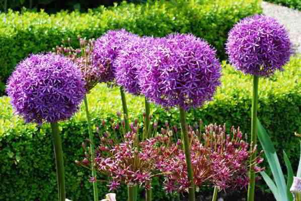луковичные цветы фото и названия уход