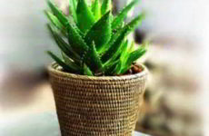 Правильный уход за цветком алоэ в домашних условиях