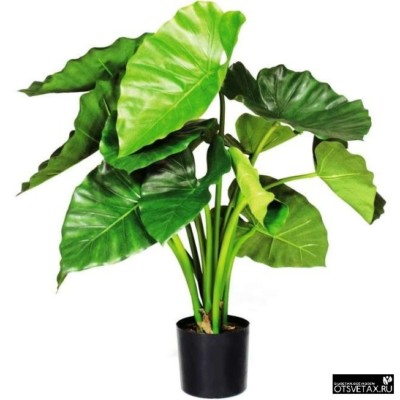 алоказия уход в домашних условиях желтеют листья