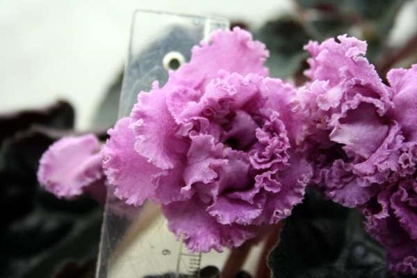 комнатные цветы стрептокарпус уход в домашних условиях