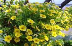 Как вырастить ампельные растения дома в оранжерее, на даче