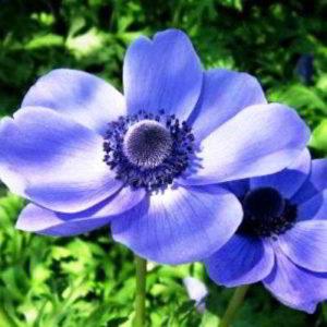Анемона корончатая посадка клубнями весной, осенью, уход за цветком