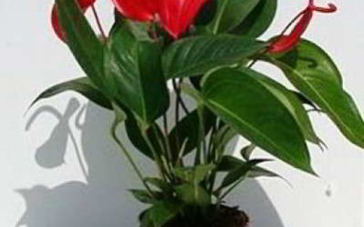 Цветок антуриум уход в домашних условиях, пересадка, размножение