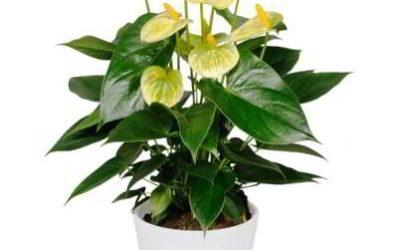 Как выглядит на фото цветок мужское счастье антуриум