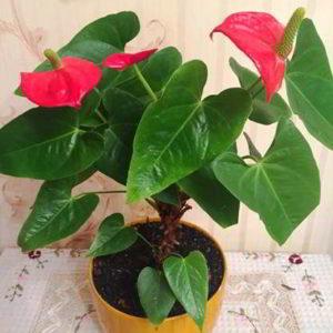 Антуриум в доме: приметы и суеверия, волшебная аура цветка для окружающих