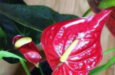 Антуриум: желтеют на концах листья, в чём кроются причины пожелтения и их устранение