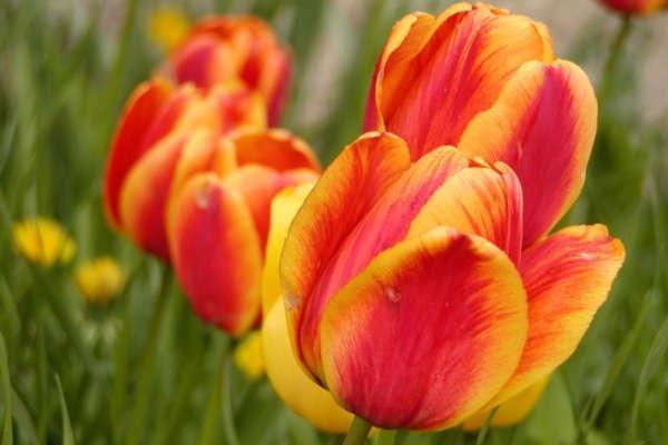 сроки посадки тюльпанов осенью на урале