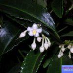 ардизия фото цветок