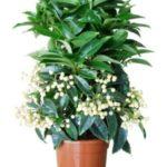 ардизия цветок фото