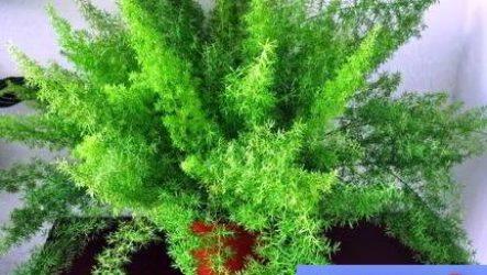 Аспарагус — уход в домашних условиях, фото видов, тонкости выращивания