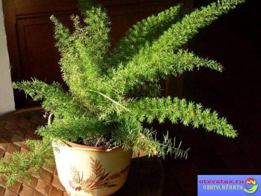 цветок аспарагус уход в домашних условиях
