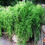 аспарагус фото в саду