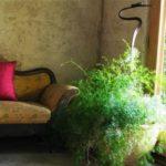 цветы аспарагус фото