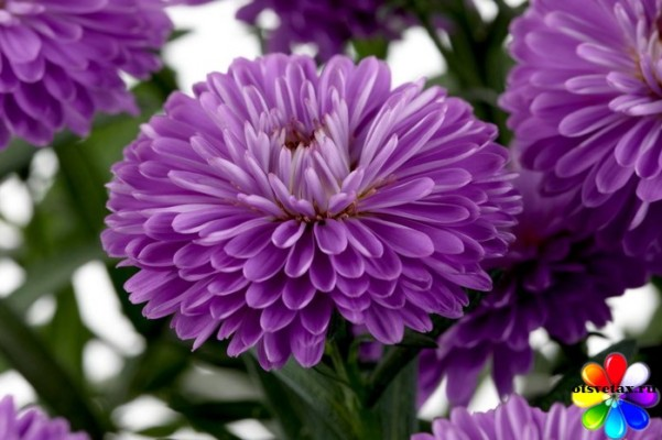 астра выращивание из семян